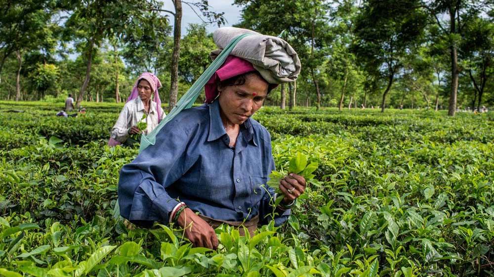 चाय उद्योग स्वयं के लिए मानदंड स्थापित करें - केंद्रीय वाणिज्य सचिव
