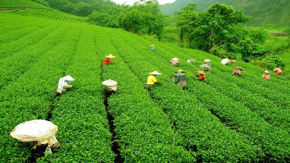 How IIM-Bangalore Is Improving The Tea Auction System