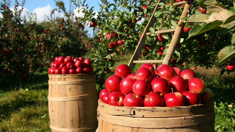 Organic Apples Cater to Health-Conscious Indians