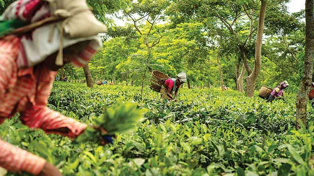 Mcleod Russel signs deal to sell two tea estates for $12.6 mn