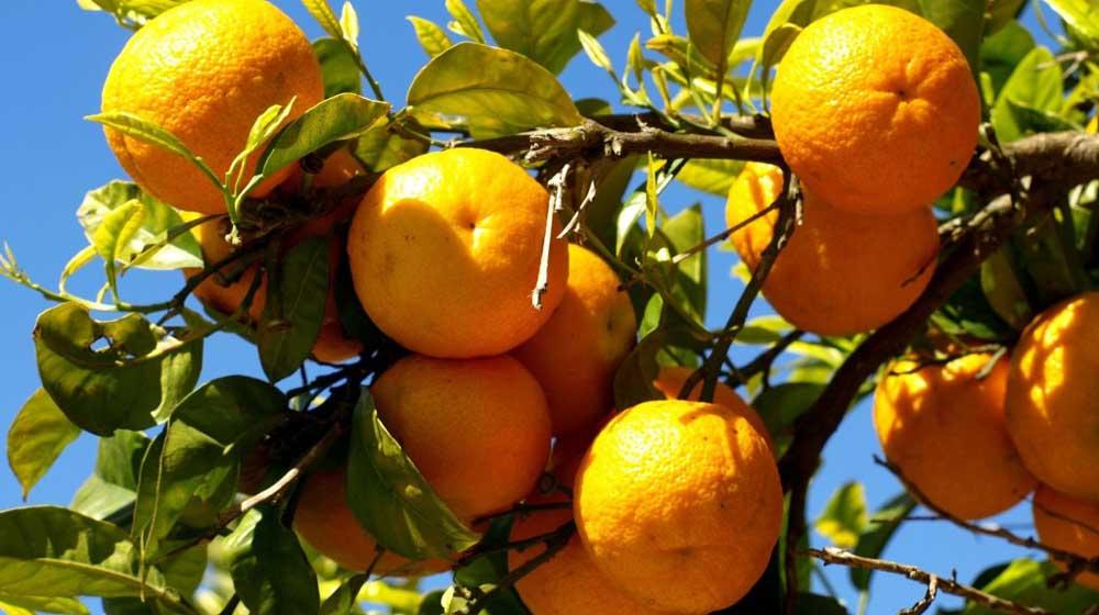 Rajasthan to market Orange brand 'Raj Santara'