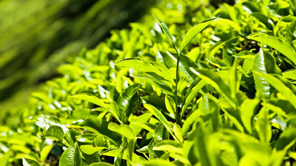 Tea auction in Calcutta starts today