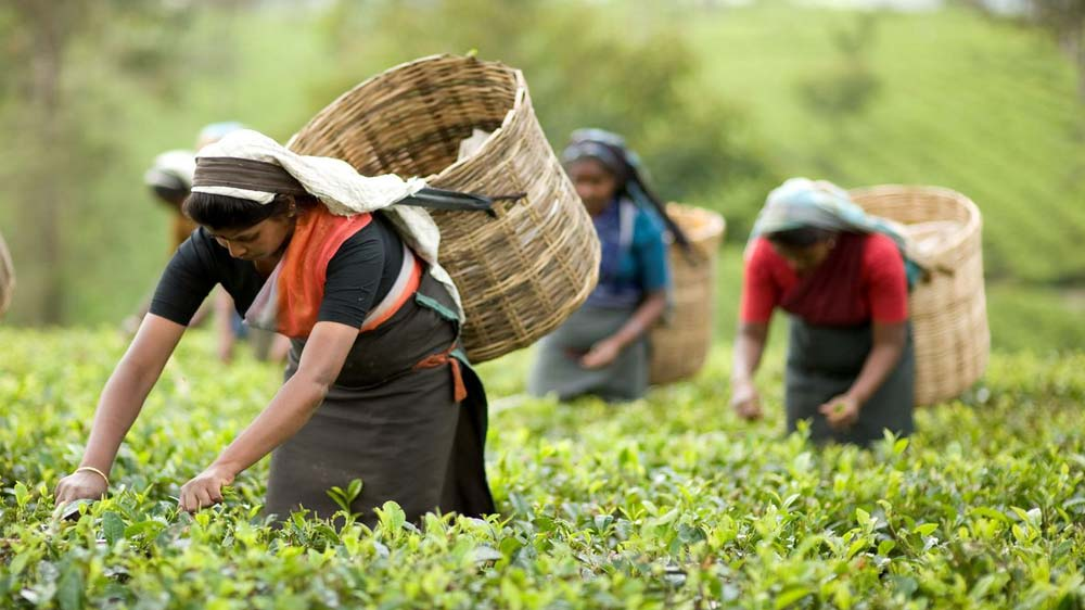 Tea Sustainability Code Launched