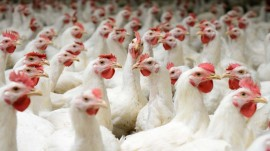 Chicken consumption, prices rise upto 30% over beef ban: Assocham