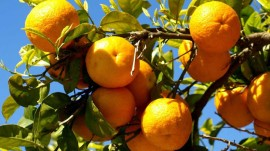 Rajasthan to market Orange brand 'Raj Santara'